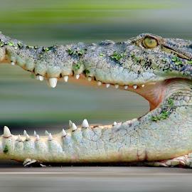 Hurry for food by Suvankar Roy - Animals Reptiles ( crocodile, wildlife, reptile, animal )