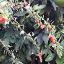 Goji berry plant