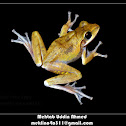 Indian Tree Frog or Chunam Tree Frog