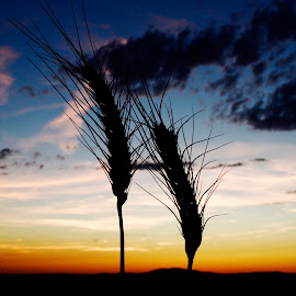 Wheat heads. by Denton Thaves - Landscapes Prairies, Meadows & Fields ( wheat )