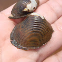 Freshwater Asian clam. Almeja asiática