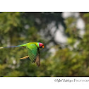 PLUM HEADED PARAKEET(MALE)