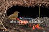 Gambar preview Burung pintar dari Papua Barat