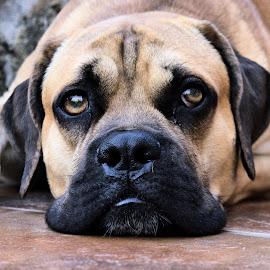 by Viorel Caloean - Animals - Dogs Portraits