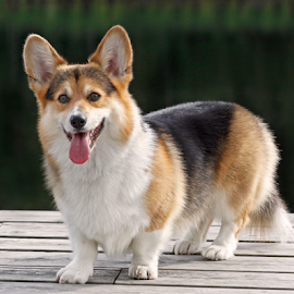 Summer day by Mia Ikonen - Animals - Dogs Portraits ( happy, pembroke welsh corgi, finland, pier, lake )