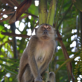 Macaque by Kristin Cosgrove - Novices Only Wildlife
