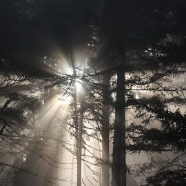 Sunburst by Cathy Wells - Landscapes Forests ( sunburst, trees, forest, sunlight, mist )