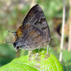 Gold-bordered Hairstreak