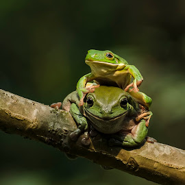 Friends by Dikky Oesin - Animals Amphibians ( water, tree, frog, green, amphibian, reptile, pond )