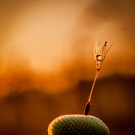 Lonely by Zsolt Szabó - Nature Up Close Other plants ( water, macro, dandelion, drop, morning )