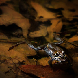 Wood Frog I by Stan Lupo - Animals Amphibians ( animal art, wood frog, outdoor photography, animal photography, frog, amphibian, nature up-close, golden ratio, amphibian photography, frogs and toads,  )