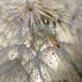 Dandelion 3 by Renier Van Niekerk - Novices Only Macro ( dandelion, plants, drops, wet, flower )