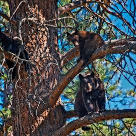 Bear tree house by Thomas Born - Animals Other