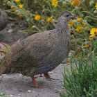 Cape Spurfowl