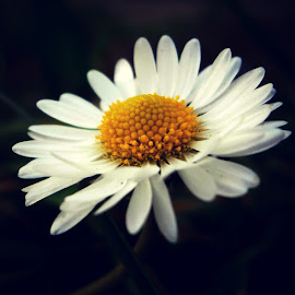 flower by Dragan Dvorski - Novices Only Macro ( macro, white, nature up close, photography, flower )
