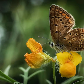 Ricoh GR Version by Boris Romac - Animals Insects & Spiders ( butterfly, macro, gr, ricoh )