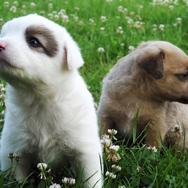 puppies by Robert Dobritoiu - Animals - Dogs Puppies ( playing, puppies, grass, spring,  )
