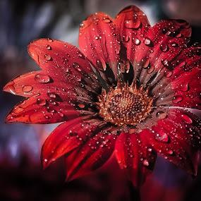 Gerbera in my garden by Manuela Dedić - Flowers Single Flower ( red, garden, gerbera, flower,  )