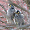 Noisy Miner chicks (first day out of nest)