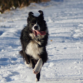 by Sue Lascelles - Animals - Dogs Running ( playing, border collie, happy, snow, dog, running )