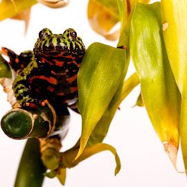 by Richard Stevens - Animals Amphibians ( studio, macro, nature, wildlife, frogs, close up )