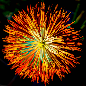 Burst of Color by Petra Bensted - Flowers Single Flower ( nature, bright, colors, sunlight, light, flower )