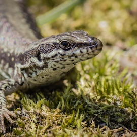 Common Wall Lizard by OssO SetteSei - Novices Only Wildlife ( scale, herpetology, common, fauna, dragon, wildlife, muralis, herpetofauna, skin, sauria, looking, macro, saurian, nature, reptilarium, reptile, podarcis, closeup, eye, animal, wild, lizard, creature, lacerta, forest, lizards, close-up, outdoors, zoology, natural, wall, reptilian )