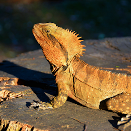 Warming Up by Linda Taylor - Animals Reptiles ( queensland, lizard, post, beerwah, australia, reptile, sunning, animal,  )