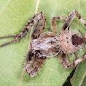Monkey Orb Weaver Spider