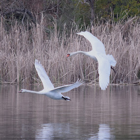 Swans A Pair by Ed Hanson - Animals Birds ( swans, nature, in-flight, white, birds )