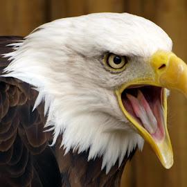 Squawk by Garry Chisholm - Animals Birds ( bird, garry chisholm, eagle, nature, wildlife, prey, raptor )