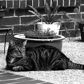 Baxter on Patio B&W by Robin Morgan - Animals - Cats Portraits ( cat, black and white )