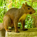 Eastern Grey Squirral