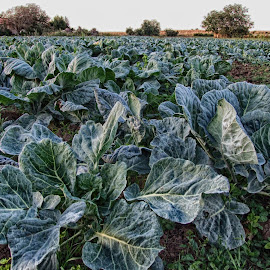 Cabbage field by Maja  Marjanovic - Nature Up Close Gardens & Produce ( field, season, cabbage, food, gardens )