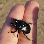 Minotaur (dung beetle) / Driehoornmestkever