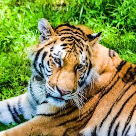 Resting Tiger  by Emmett Worthington - Animals Lions, Tigers & Big Cats ( big cat, cat, animals, tiger, amazing animals )