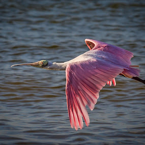 Spoonbill by Bill Killillay - Animals Birds ( fl, 2013, fort myers, fort myers beach, spoonbill, roset spoonbill, pink bird )
