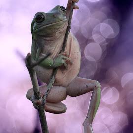 by Herpin Hendriadi - Animals Amphibians