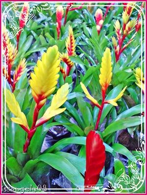 birds of paradise hybrid