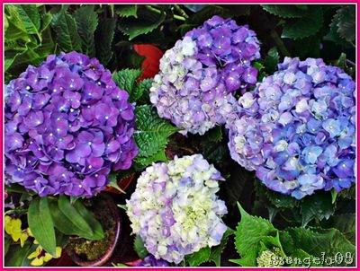 violet and blue million flowers