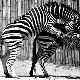 COME ON BEIB......... by Idda Purwaningtiyas - Animals Horses