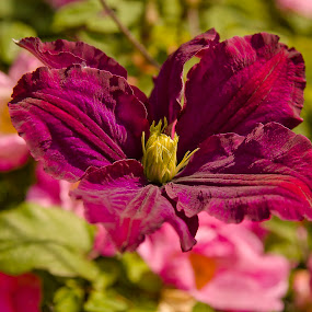Mid-Season Clematis by Ron Jnr - Flowers Flower Gardens ( clematis, yellow, flower, green's, garden flower, purple leaves )