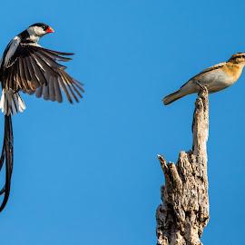 Pin-tailed whydah. by Johan Louw - Animals Birds