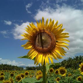 A Leader ! by Darshan Trivedi - Flowers Flower Gardens ( farm, macro, sky, nature, shiningflower, beautiful, shining, sunflower, yellow )