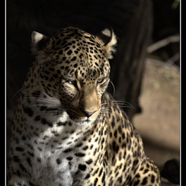 In the shadows by Zerene Lotter Eloff - Animals Lions, Tigers & Big Cats ( spots, cat, hide, lazy, shade, big, leopard, animal )