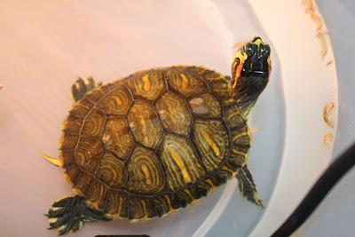 Consigli costruzione acquario per tartarughe pagina 4 for Accessori acquario tartarughe