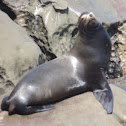 California Sea Lion     male