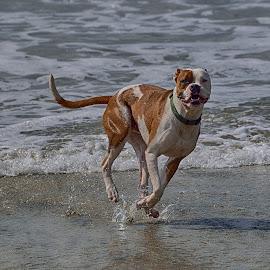 Dog Beach by Jose Matutina - Animals - Dogs Running ( canine, orange county, california, beach, dog, huntington beach, animal,  )