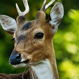 -PORTRAIT- by Kajal Suman Chatterjee - Animals Other ( #eyes, #portrait, #nature, #cuteness, #deer#,  )
