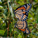 Viceroy butterflies (mating pair)